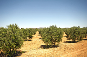 Mallorca land with olive grove for sale in Campos