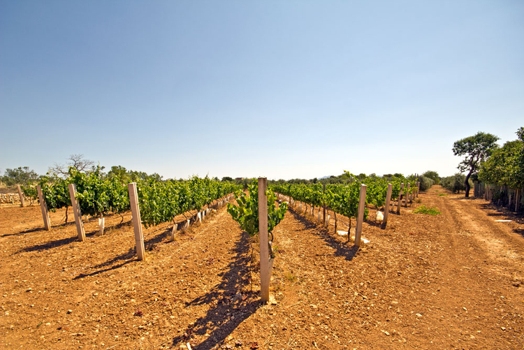 Plot with fruit-growing plantation in southeastern Majorca in Campos