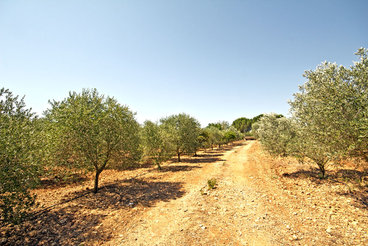 House with olive plantation in Son Mesquida for sale in Mallorca