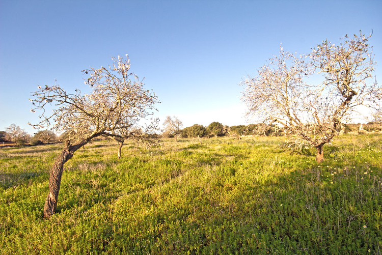 Finca plot for sale with small wood in Santanyi